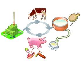 Cycle-porc-petit-lait