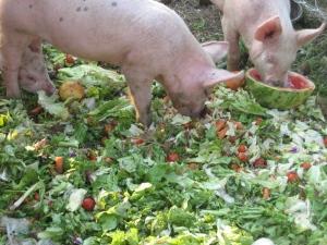 Cochon-mange-salade