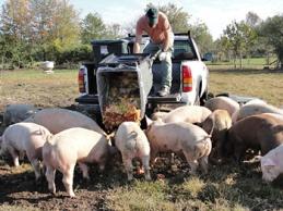 Cochons-mangent-poubelle