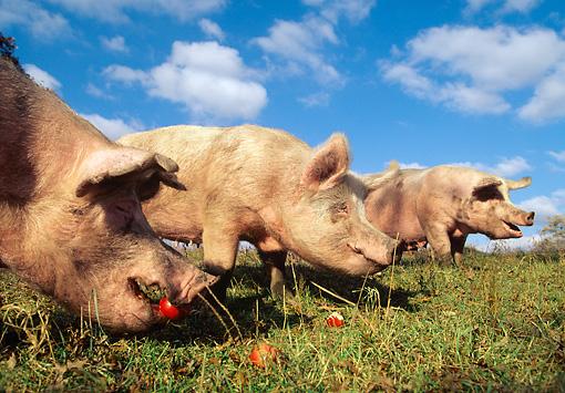Quand Les Restes De Nos Repas Nourrissaient Nos Cochons