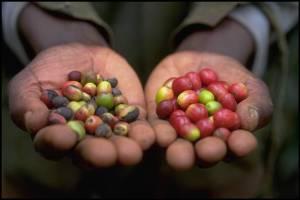 Café-avec-ou-sans-pesticides