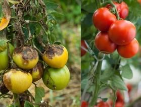 Tomates-mildiou