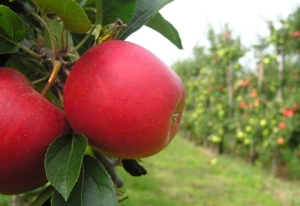Pomme-rouge