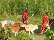 Troupeau-Massaï